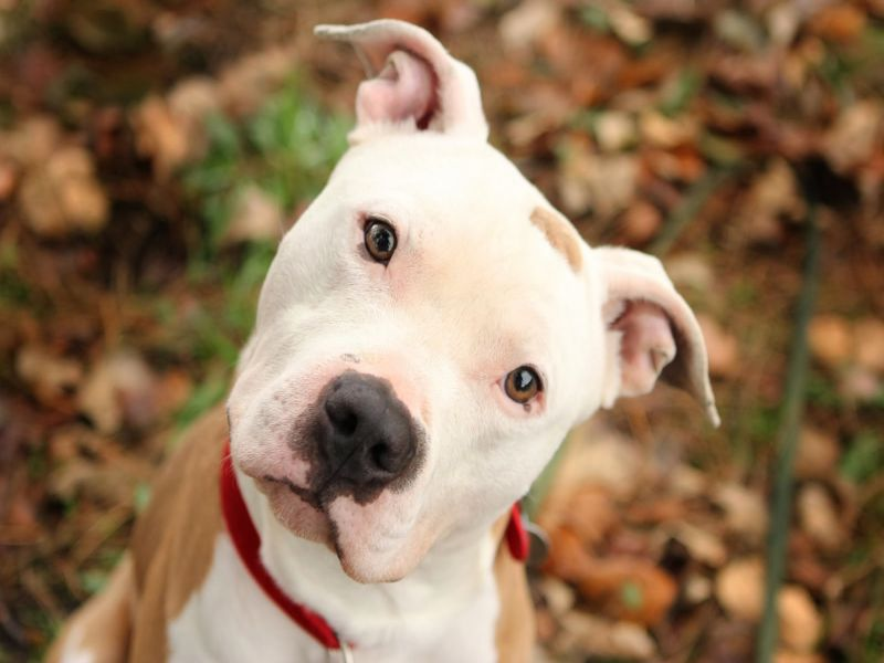 5 Reasons To Buy Your American Pit Bull Terrier From A Registered