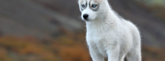 7 Things You Need To Know About The Siberian Husky