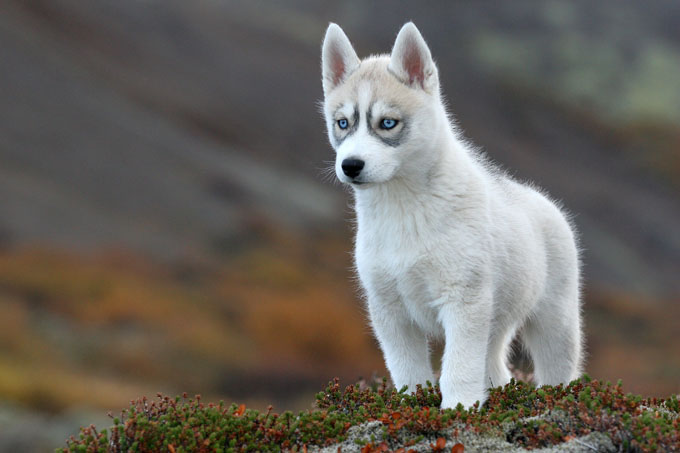 7 Things You Need To Know About The Siberian Husky Animalso