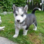 sibérien-husky_10