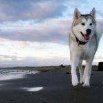 sibérien-husky_2