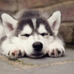 siberian-husky_3