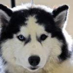 sibérien-husky_4