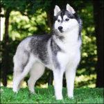 siberian-husky_7