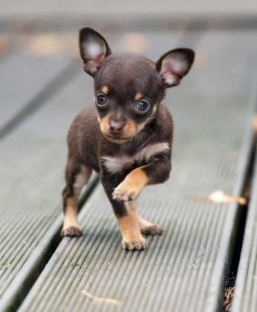 Teacup Chihuahua also known as Teacups or micro Chihuahua