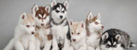 Difference between Alaskan Malamute, Siberian Husky and Alaskan Husky