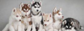 Difference between Alaskan Malamute, Siberian Husky and Alaskan Husky
