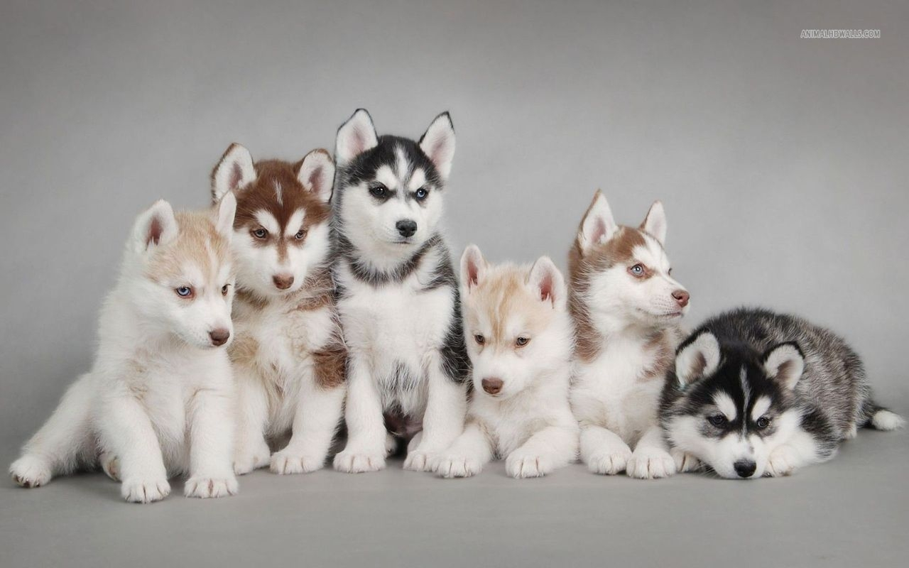 Alaskan Malamute Vs Husky Siberian And