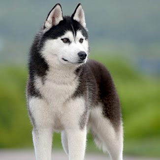Alaskan Malamute Vs Husky Siberian And Alaskan Animalso