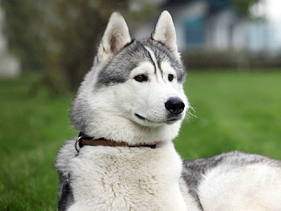 9 Things You Need To Know About The Alaskan Husky Animalso