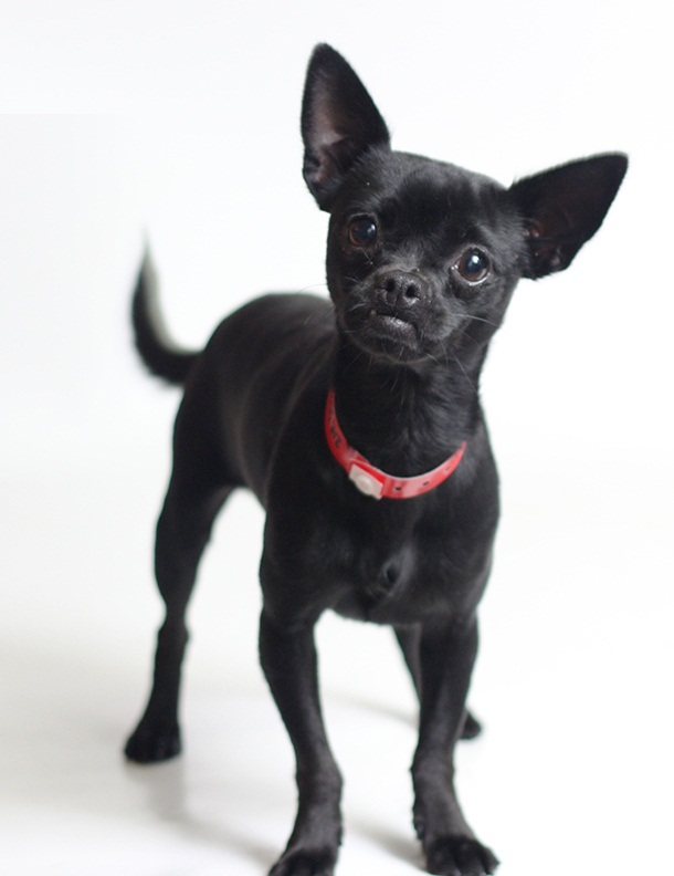 black deer head chihuahua 7 things that make chihuahua an amazing breed animalso 8674