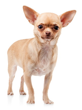 Deer Head Chihuahua Vs Apple Head Chihuahua Animalso