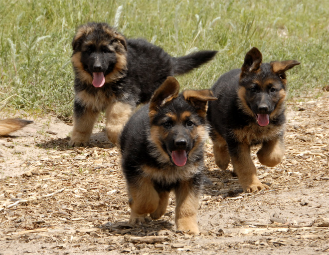German Shepherd Dog Dog Breed Information  akcorg