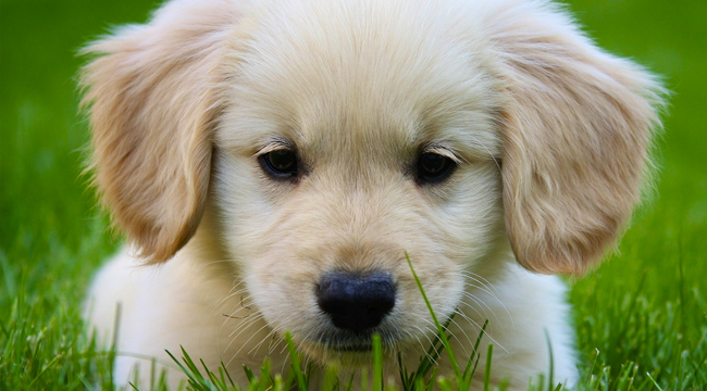 5 things you should know before getting a golden retriever