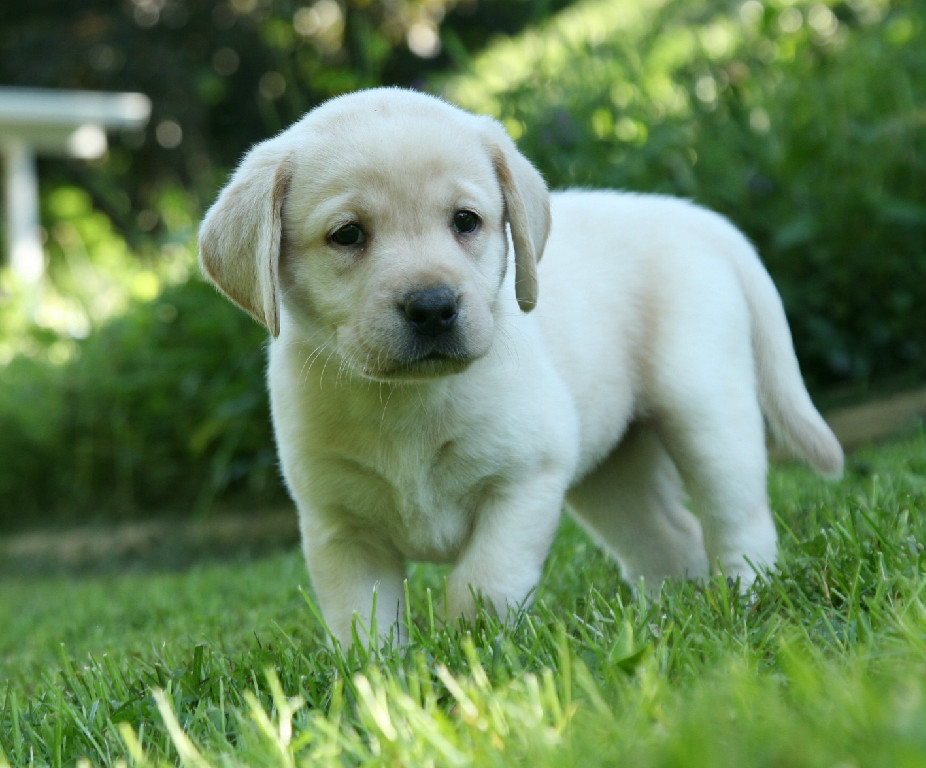 5 Practical Tips When Dealing With A Labrador Retriever