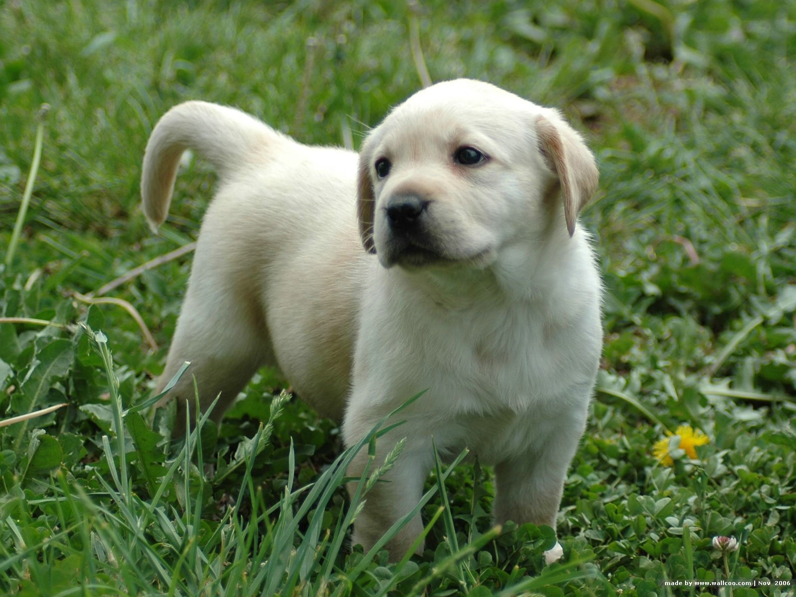 Labrador retriever buy