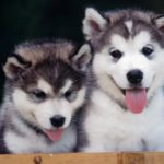 siberian-husky-puppies_2