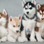 chiots-husky-sibériens_3
