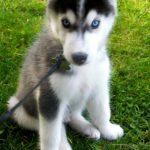 chiots-husky-sibériens_4