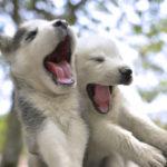 chiots-husky-sibériens_5