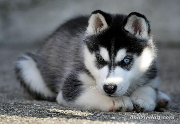 siberian-husky-puppies_6