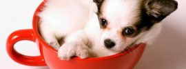 The Truth About The Teacup Chihuahua (+10 Pictures)