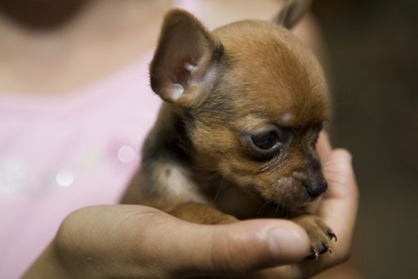 The Truth About The Teacup Chihuahua - Animalso