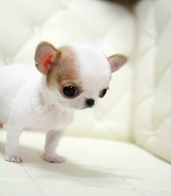 The Truth About Teacup Chihuahua