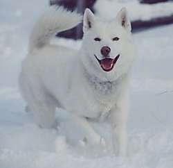 white-siberian-husky_1