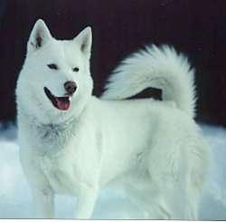 white-siberian-husky_2