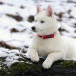 blanc-sibérien-husky_3