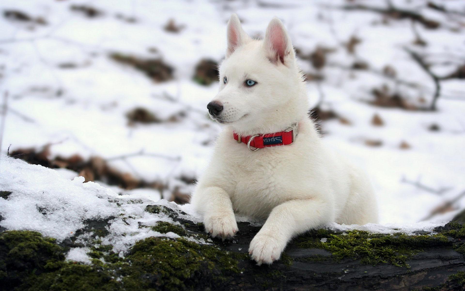 white-siberian-husky_3