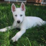blanc-sibérien-husky_4
