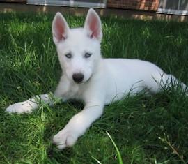 white-siberian-husky_4