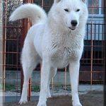 white-siberian-husky_5