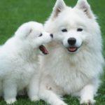 blanc-sibérien-husky_6