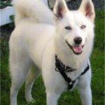 blanc-sibérien-husky_7