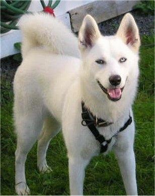 white-siberian-husky_7