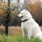 blanc-sibérien-husky_8