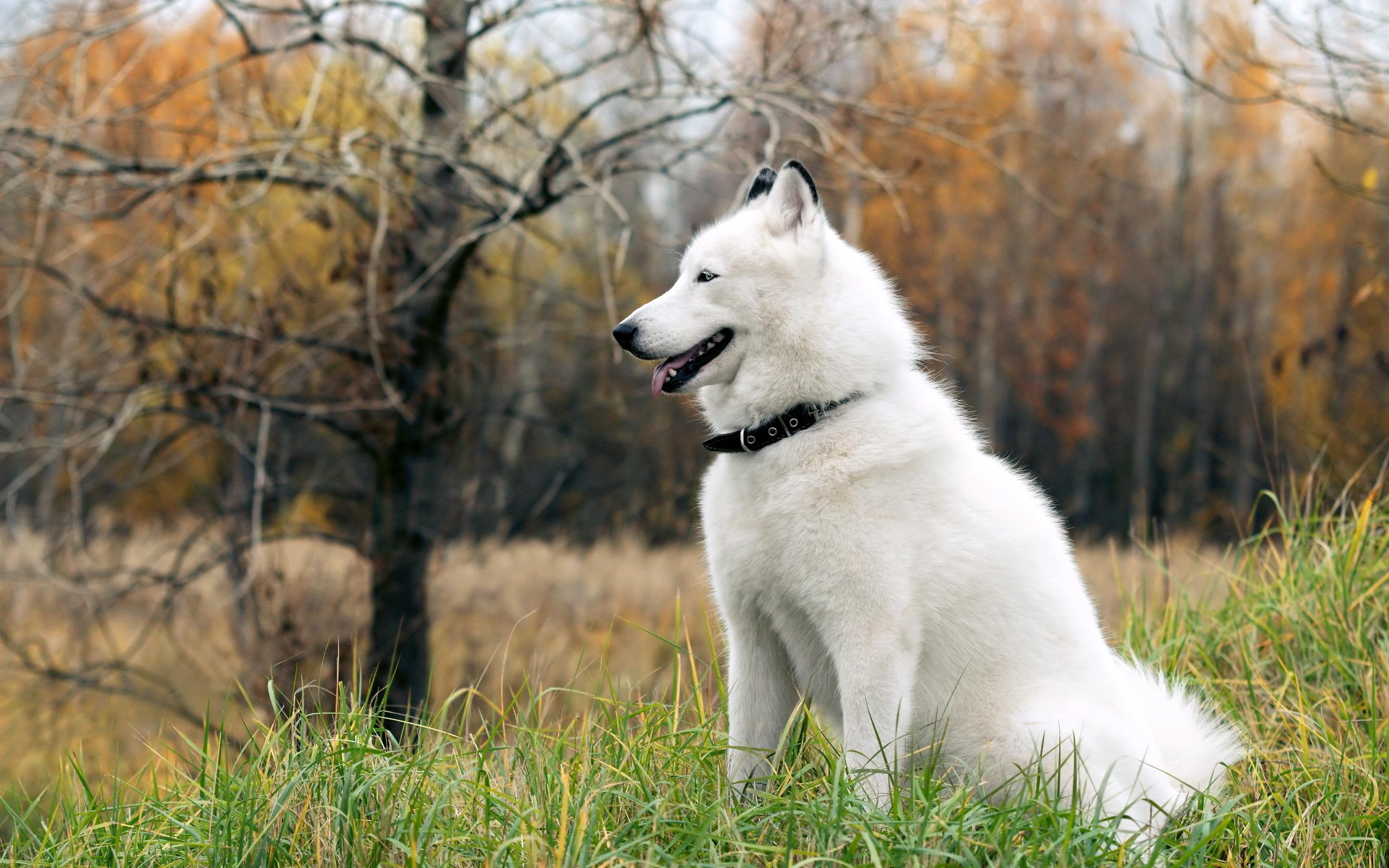 white-siberian-husky_8