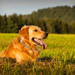 Golden-Retriever (1)