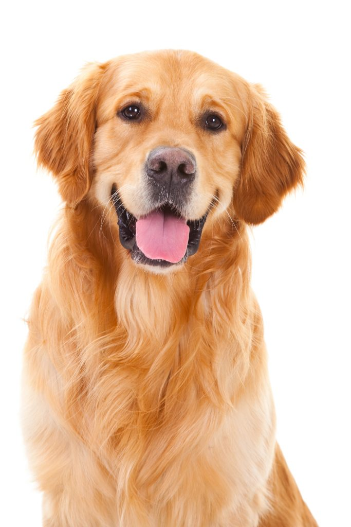 purebred golden retriever dog sitting on isolated  white background