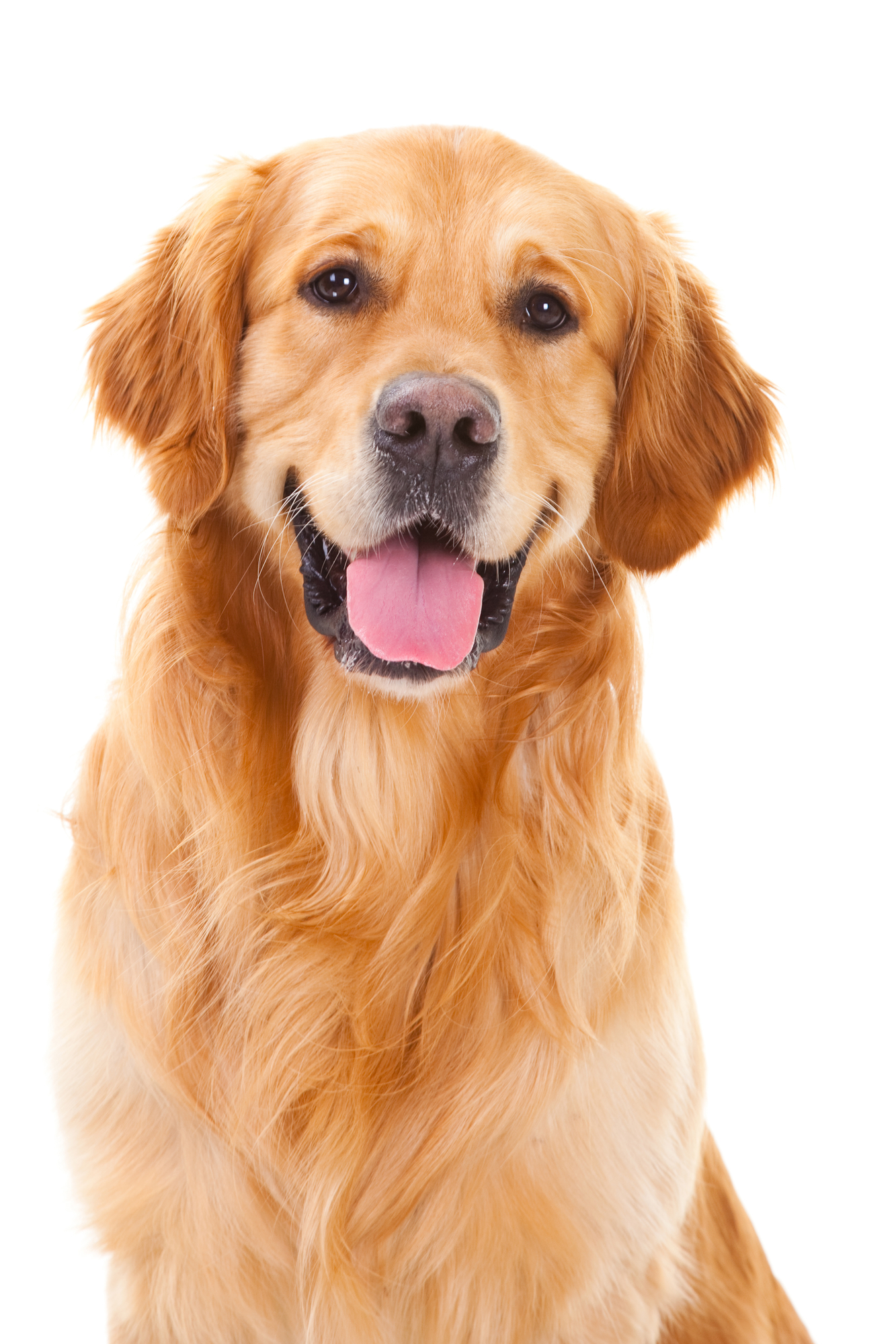 Conclusion I Think That Golden Retrievers