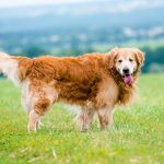 beautiful dog breed golden retriever lying in the field