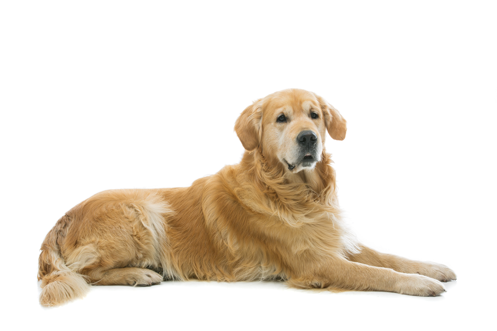 5 Things You Should Know before Getting A Golden Retriever ...