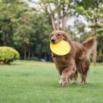 The golden retriever standing playing on the grass