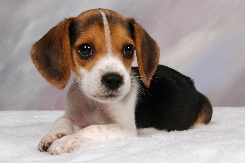 beagle-puppies_1