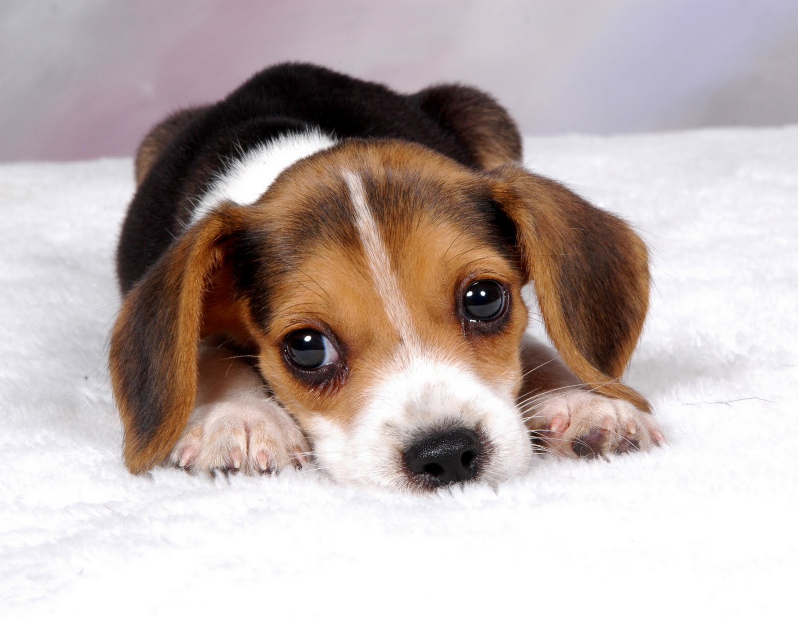 beagle-puppies_2