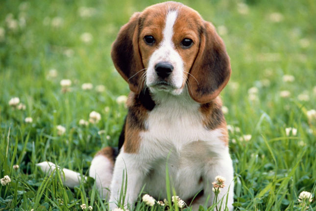 beagle-puppies_3