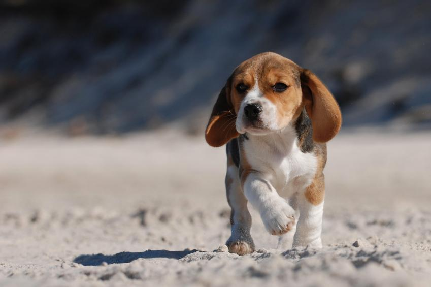 beagle-puppies_4